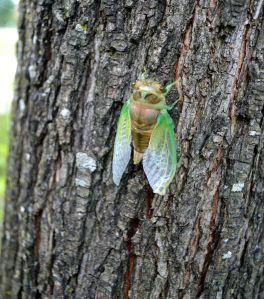 NC cicada