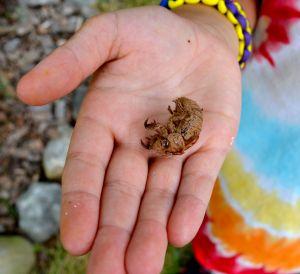 cicada shell