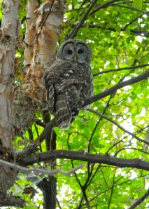 barred owl mominthemuddle.com